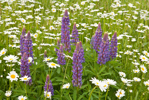 Spring Lupines