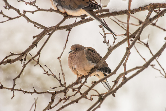 Mourning Doves in Winter